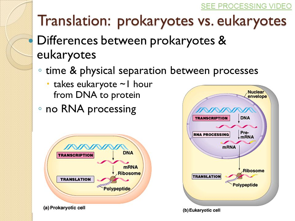 Eukaryotic Transcription And Translation Transcription Amp Translation