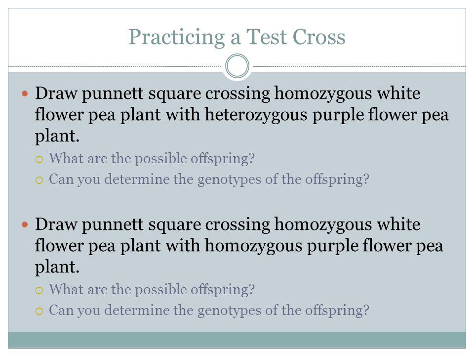 Practicing a Test Cross Draw punnett square crossing homozygous white flower pea plant with heterozygous purple flower pea plant. What are the possibl