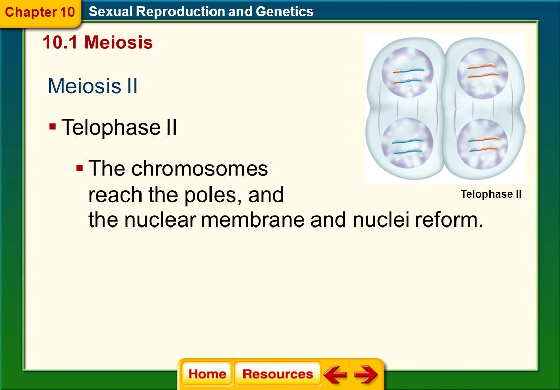 Meiosis II Sexual Reproduction and Genetics 10.1 Meiosis Anaphase II Chapter 10 Anaphase II The sister chromatids are pulled apart at the centromere by spindle fibers and move toward the opposite poles of the cell.