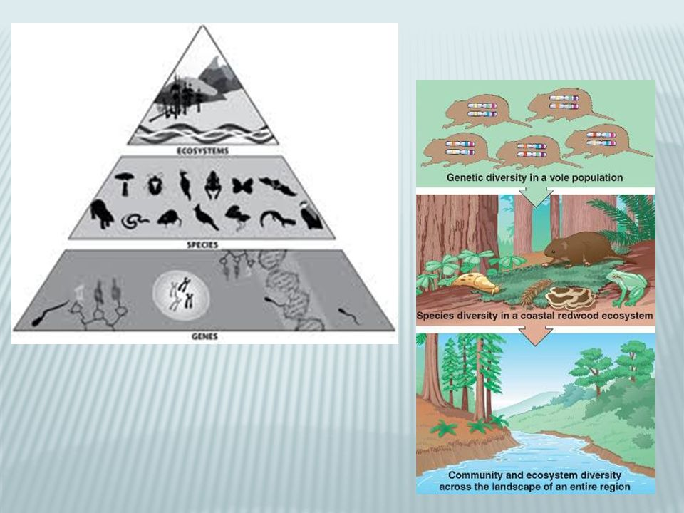 Preserving ecosystem balance Keystone species- species that are critical to the functioning of an ecosystem We depend on healthy ecosystem to ensure a healthy biosphere