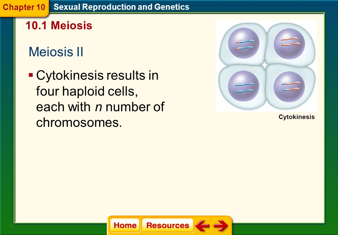 Sexual Reproduction and Genetics 10.1 Meiosis Meiosis II Chapter 10 Telophase II The chromosomes reach the poles, and the nuclear membrane and nuclei