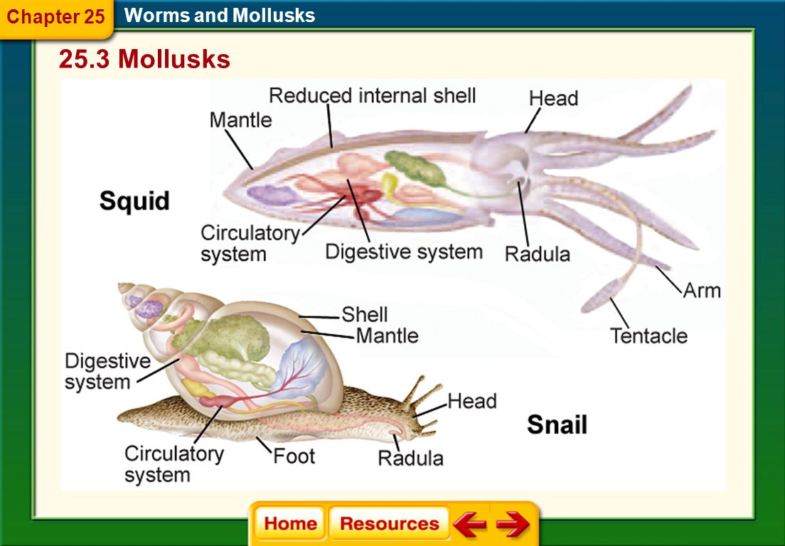 Body Structure of Mollusks Mollusks are coelomate animals with bilateral symmetry, a soft internal body, a digestive tract with two openings, a muscul