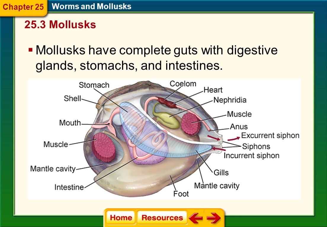 Feeding and Digestion A radula scrapes food into their mouths. Worms and Mollusks 25.3 Mollusks Chapter 25