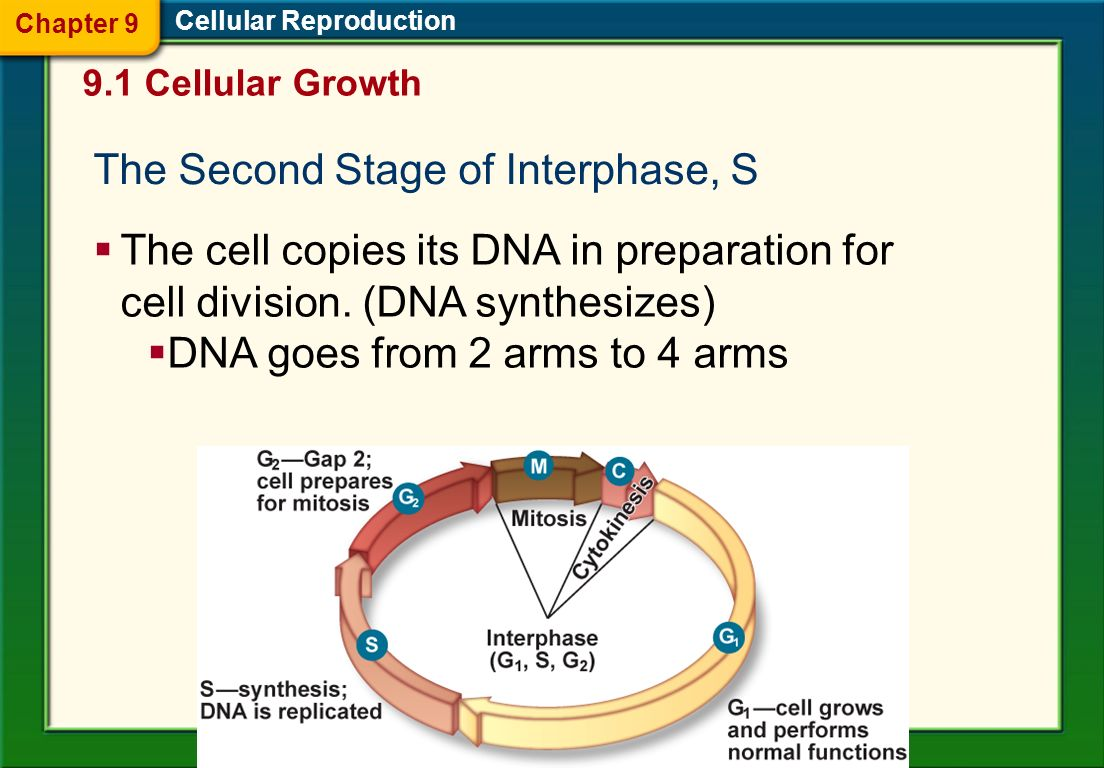 Cellular Reproduction The Stages of Interphase The first stage of interphase, G 1 The cell is growing, carrying out normal cell functions, and prepari