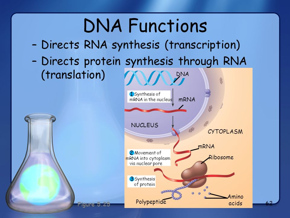 62 DNA Functions –Directs RNA synthesis (transcription) –Directs protein synthesis through RNA (translation) 1 2 3 Synthesis of mRNA in the nucleus Mo
