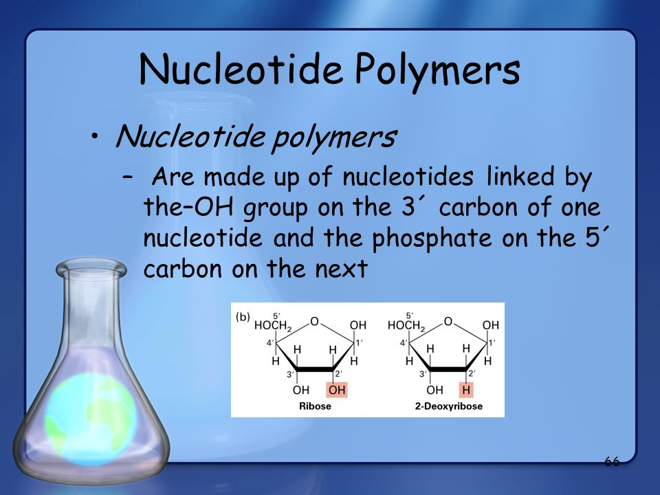 66 Nucleotide Polymers Nucleotide polymers – Are made up of nucleotides linked by the–OH group on the 3´ carbon of one nucleotide and the phosphate on