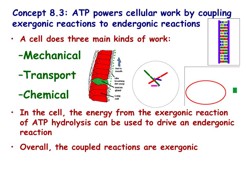 Concept 8.3: ATP powers cellular work by coupling exergonic reactions to endergonic reactions A cell does three main kinds of work: –Mechanical –Trans