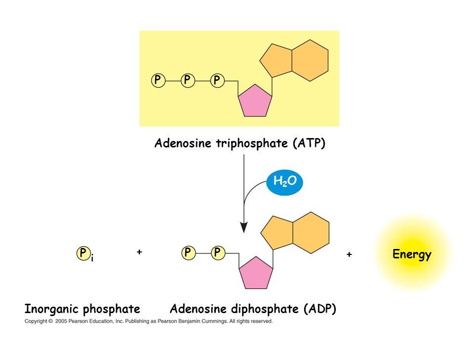 Adenosine triphosphate (ATP) Energy PP P PP P i Adenosine diphosphate (ADP) Inorganic phosphate H2OH2O + +