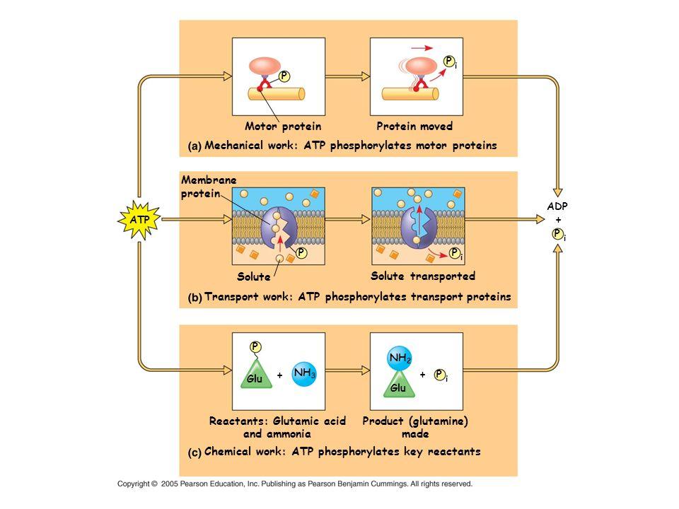 NH 2 Glu P i P i P i P i NH 3 P P P ATP ADP Motor protein Mechanical work: ATP phosphorylates motor proteins Protein moved Membrane protein Solute Tra