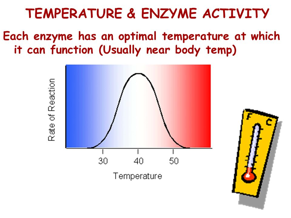 TEMPERATURE & ENZYME ACTIVITY Each enzyme has an optimal temperature at which it can function (Usually near body temp)