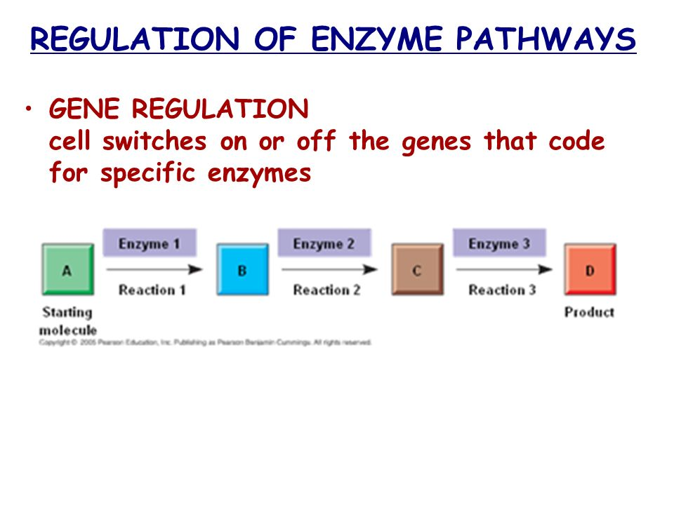 REGULATION OF ENZYME PATHWAYS GENE REGULATION cell switches on or off the genes that code for specific enzymes