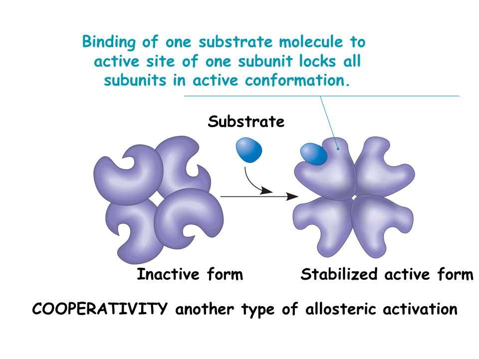 Substrate Binding of one substrate molecule to active site of one subunit locks all subunits in active conformation. COOPERATIVITY another type of all