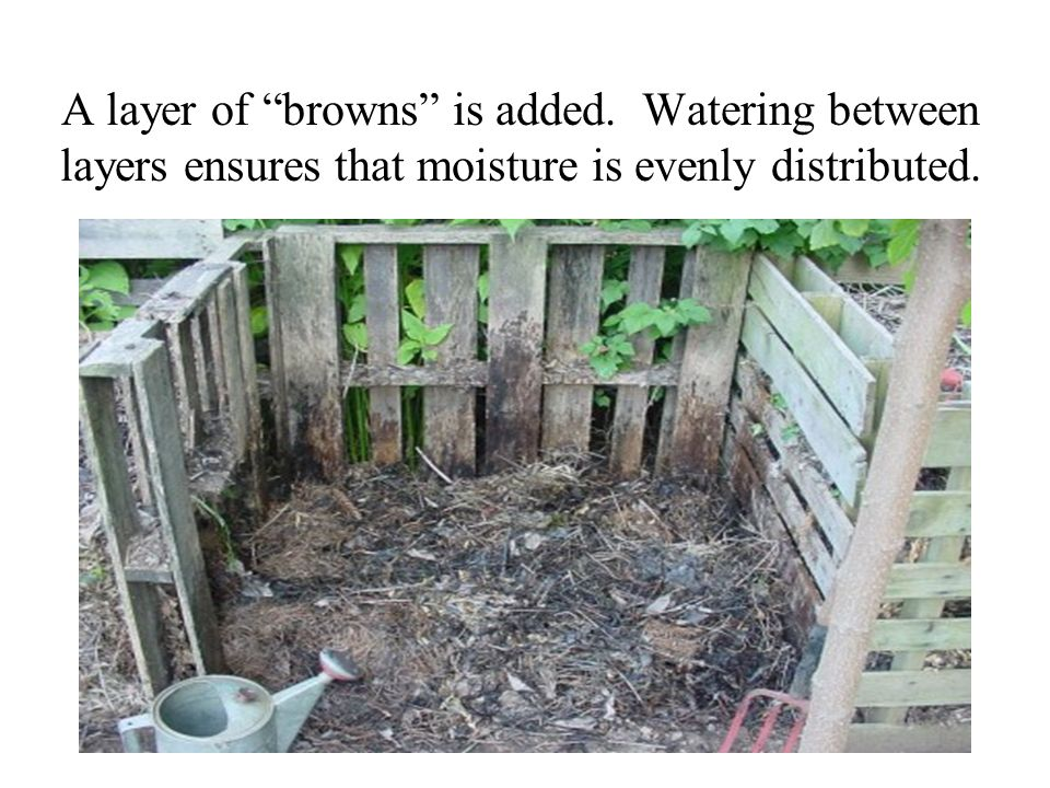 A layer of browns is added. Watering between layers ensures that moisture is evenly distributed.