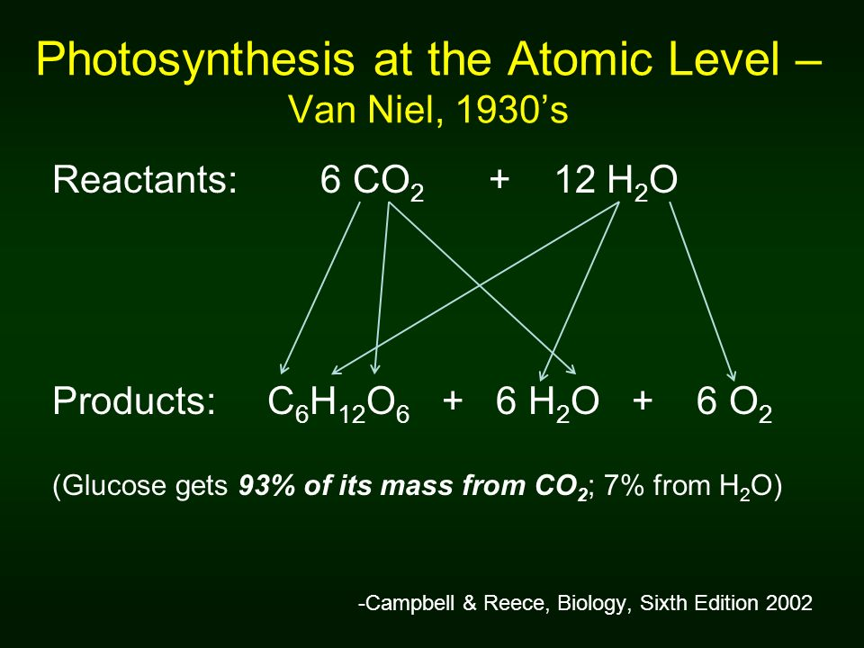 Photosynthesis at the Atomic Level – Van Niel, 1930s Reactants: 6 CO 2 + 12 H 2 O Products: C 6 H 12 O 6 + 6 H 2 O + 6 O 2 (Glucose gets 93% of its mass from CO 2 ; 7% from H 2 O) -Campbell & Reece, Biology, Sixth Edition 2002