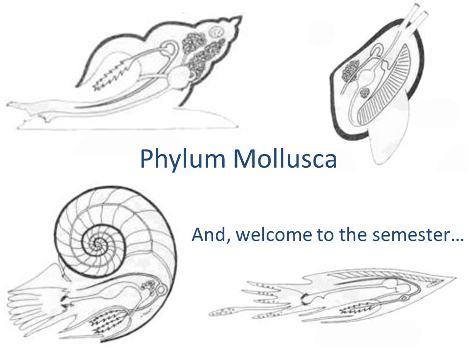 Phylum Mollusca And, welcome to the semester…