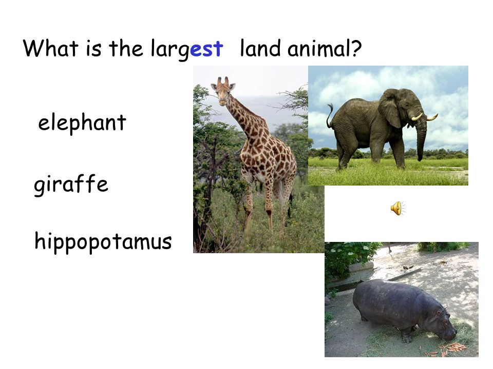 The rhinoceros is the 2 nd largeestland animal. Whenever i or e come after g, g says j.