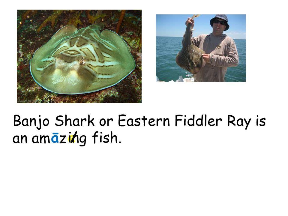 Banjo Shark or Eastern Fiddler Ray is an am z āe/ingfish.