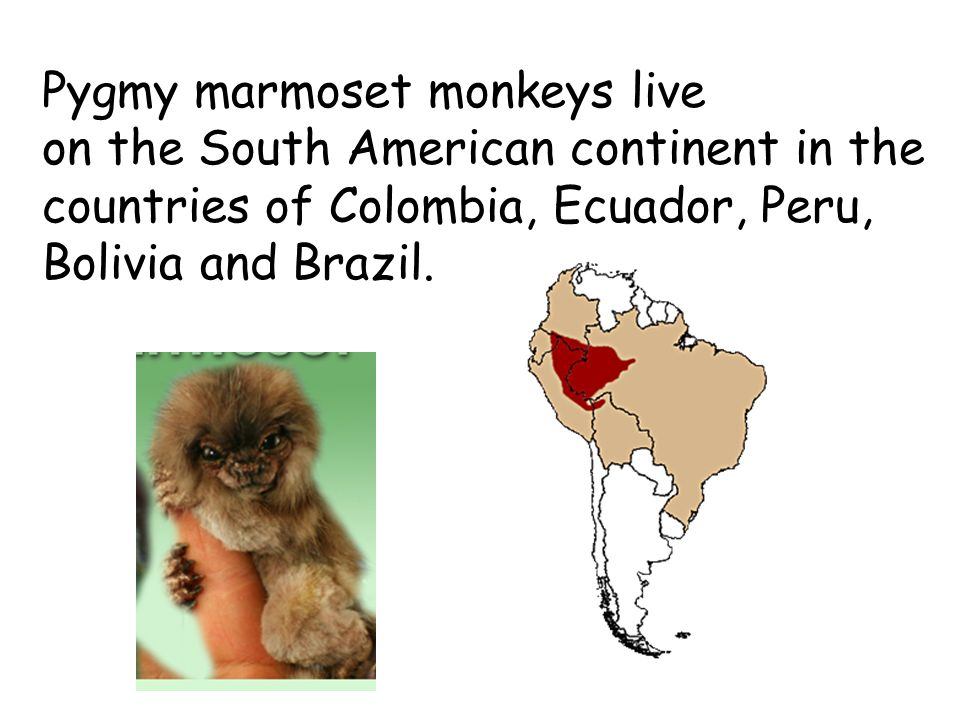 They are the smallest monkeys.They are agile animals.