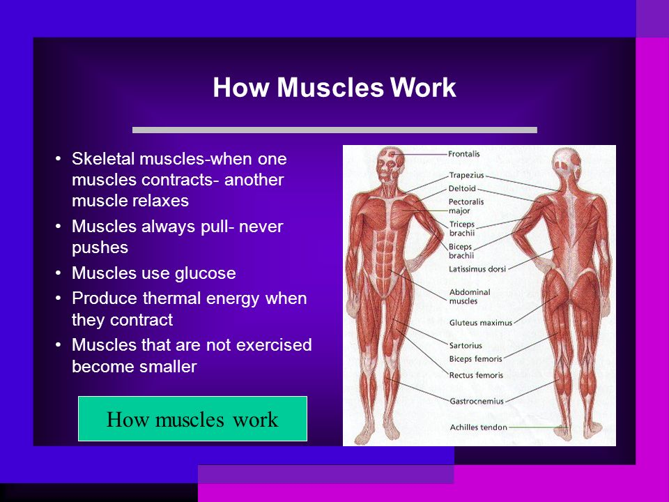 How Muscles Work Skeletal muscles-when one muscles contracts- another muscle relaxes Muscles always pull- never pushes Muscles use glucose Produce the