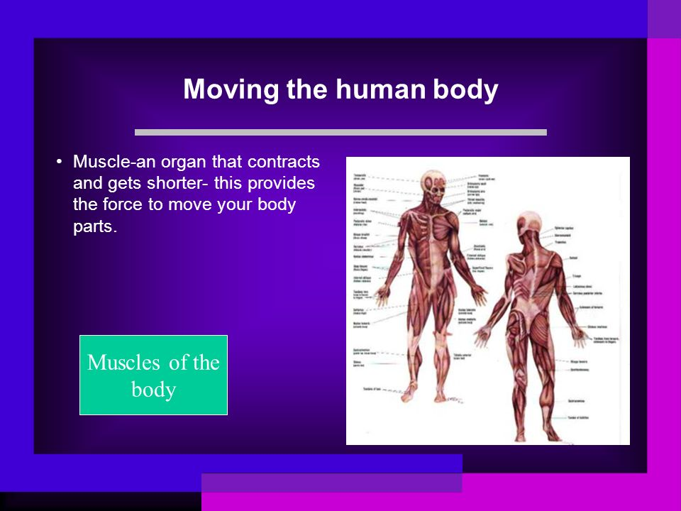 Moving the human body Muscle-an organ that contracts and gets shorter- this provides the force to move your body parts. Muscles of the body