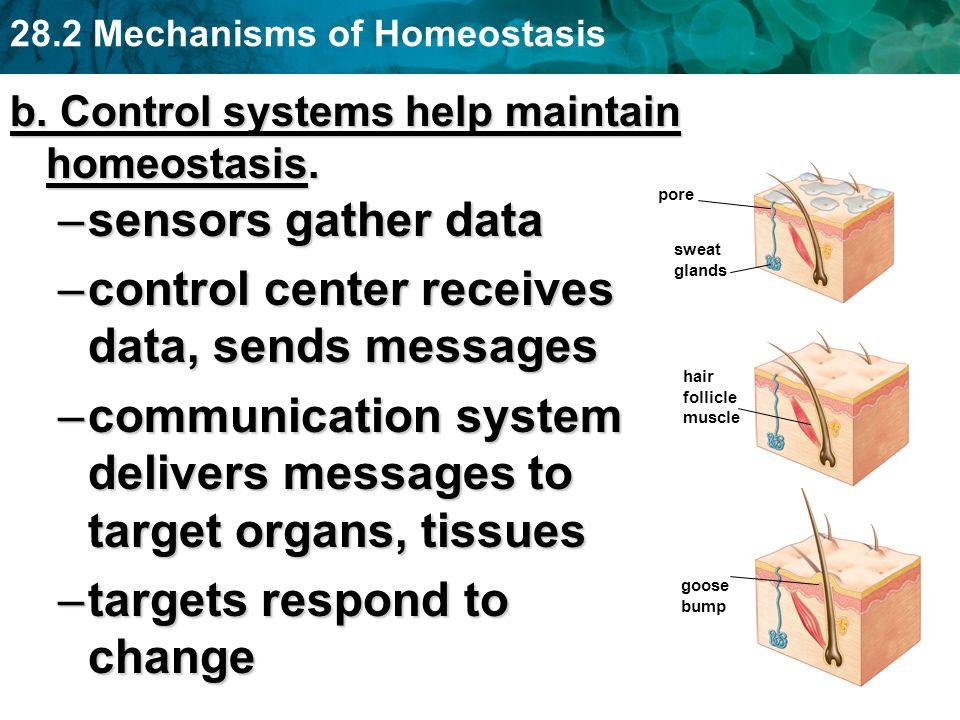 28.2 Mechanisms of Homeostasis b. Control systems help maintain homeostasis. –sensors gather data –control center receives data, sends messages –commu