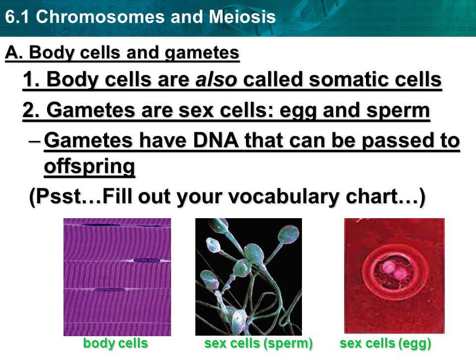 6.1 Chromosomes and Meiosis Take a Vote!!!.Is a skin cell a somatic cell or a gamete.