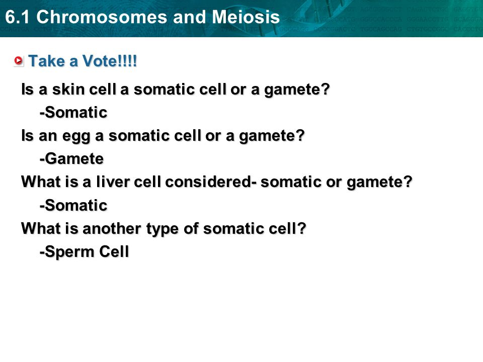 6.1 Chromosomes and Meiosis Take a Vote!!!! Is a skin cell a somatic cell or a gamete? -Somatic Is an egg a somatic cell or a gamete? -Gamete What is