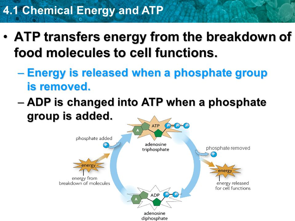 4.1 Chemical Energy and ATP phosphate removed ATP transfers energy from the breakdown of food molecules to cell functions.ATP transfers energy from the breakdown of food molecules to cell functions.