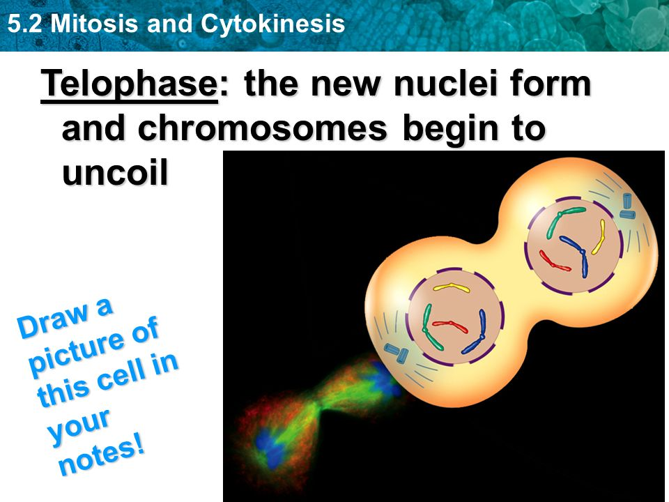 5.2 Mitosis and Cytokinesis Telophase: the new nuclei form and chromosomes begin to uncoil Draw a picture of this cell in your notes!