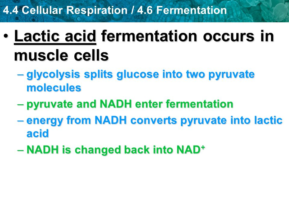 4.4 Cellular Respiration / 4.6 Fermentation Lactic acid fermentation occurs in muscle cellsLactic acid fermentation occurs in muscle cells –glycolysis