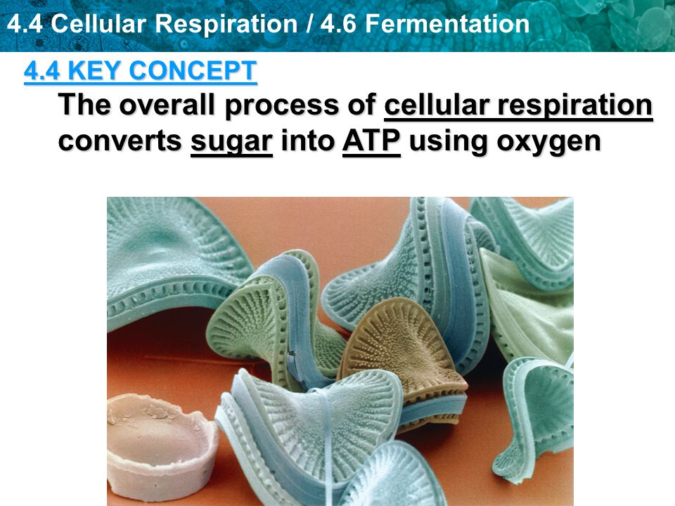 4.4 Cellular Respiration / 4.6 Fermentation 4.4 KEY CONCEPT The overall process of cellular respiration converts sugar into ATP using oxygen