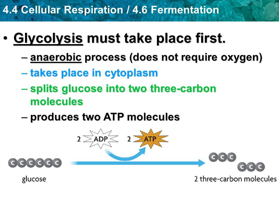 4.4 Cellular Respiration / 4.6 Fermentation Glycolysis must take place first.Glycolysis must take place first. –anaerobic process (does not require ox