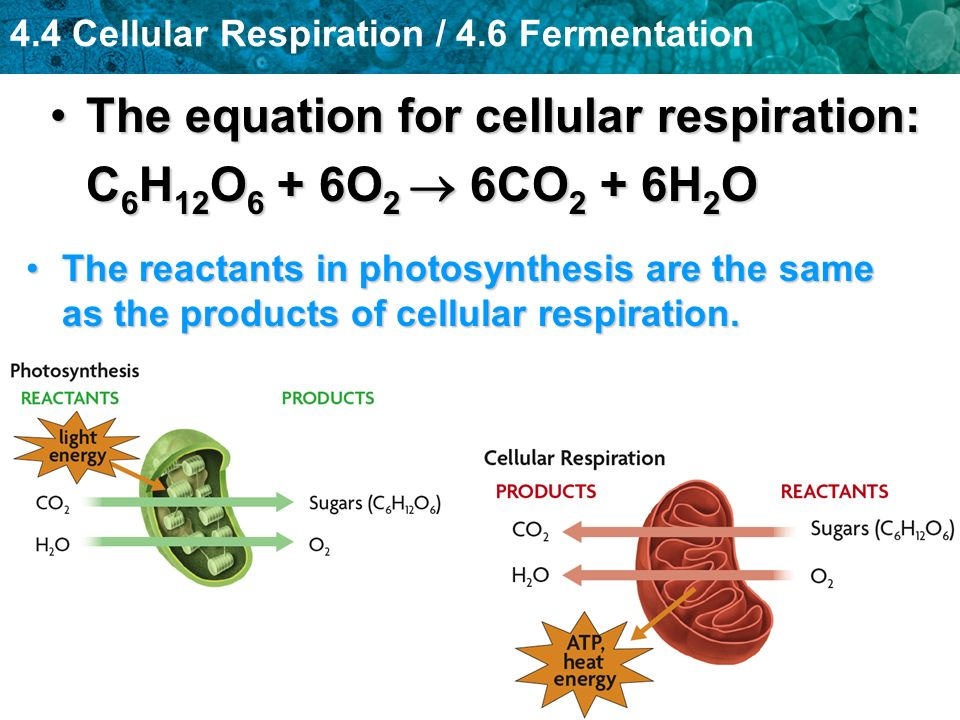 4.4 Cellular Respiration / 4.6 Fermentation The equation for cellular respiration:The equation for cellular respiration: C 6 H 12 O 6 + 6O 2 6CO 2 + 6