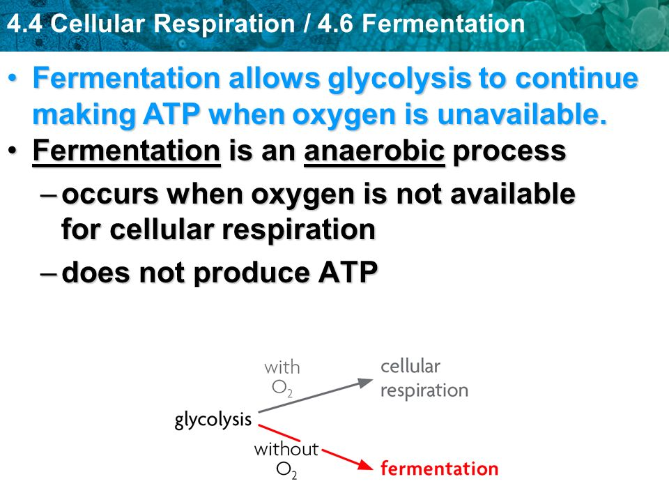 4.4 Cellular Respiration / 4.6 Fermentation Fermentation is an anaerobic processFermentation is an anaerobic process –occurs when oxygen is not availa
