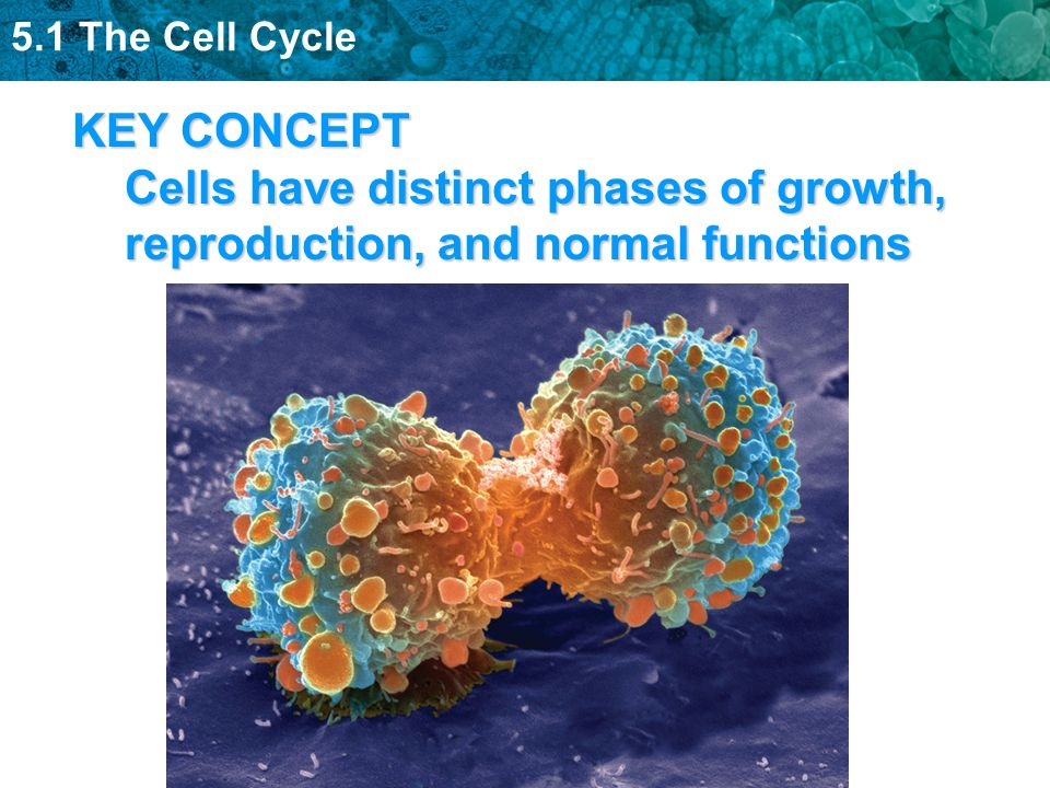 5.1 The Cell Cycle KEY CONCEPT Cells have distinct phases of growth, reproduction, and normal functions