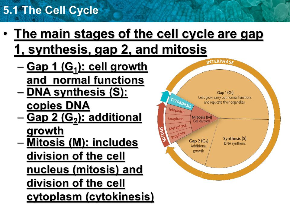5.1 The Cell Cycle The main stages of the cell cycle are gap 1, synthesis, gap 2, and mitosisThe main stages of the cell cycle are gap 1, synthesis, g