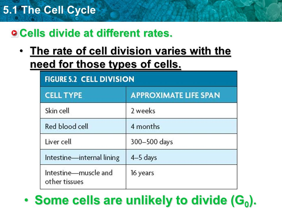 5.1 The Cell Cycle Cells divide at different rates. The rate of cell division varies with the need for those types of cells.The rate of cell division