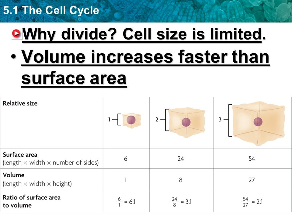 5.1 The Cell Cycle Surface area must be big enough to allow for adequate exchange of materials (nutrients, wastes)Surface area must be big enough to allow for adequate exchange of materials (nutrients, wastes) –Cells that must be large have unique shapes