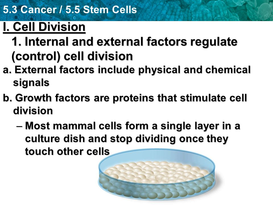 5.3 Cancer / 5.5 Stem Cells I. Cell Division 1.
