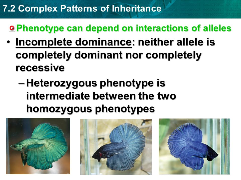 7.2 Complex Patterns of Inheritance Phenotype can depend on interactions of alleles Incomplete dominance: neither allele is completely dominant nor co