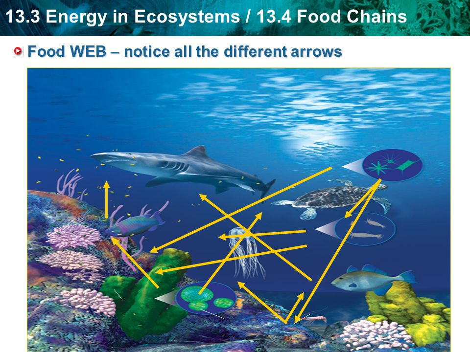 13.3 Energy in Ecosystems / 13.4 Food Chains Food WEB – notice all the different arrows