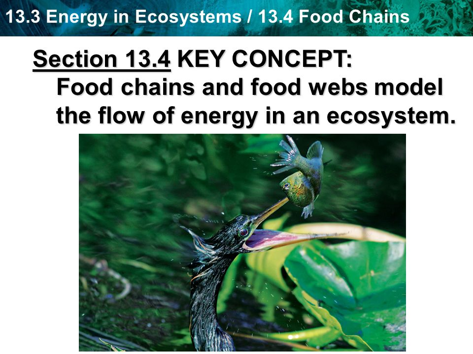13.3 Energy in Ecosystems / 13.4 Food Chains Section 13.4 KEY CONCEPT: Food chains and food webs model the flow of energy in an ecosystem.