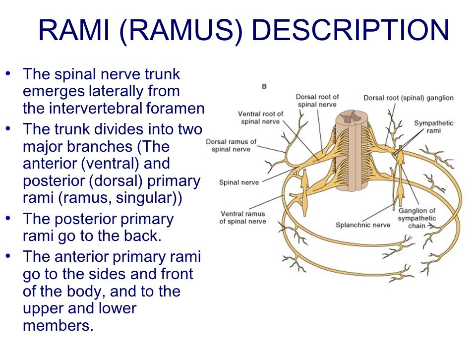 RAMI (RAMUS) DESCRIPTION The spinal nerve trunk emerges laterally from the intervertebral foramen The trunk divides into two major branches (The anterior (ventral) and posterior (dorsal) primary rami (ramus, singular)) The posterior primary rami go to the back.
