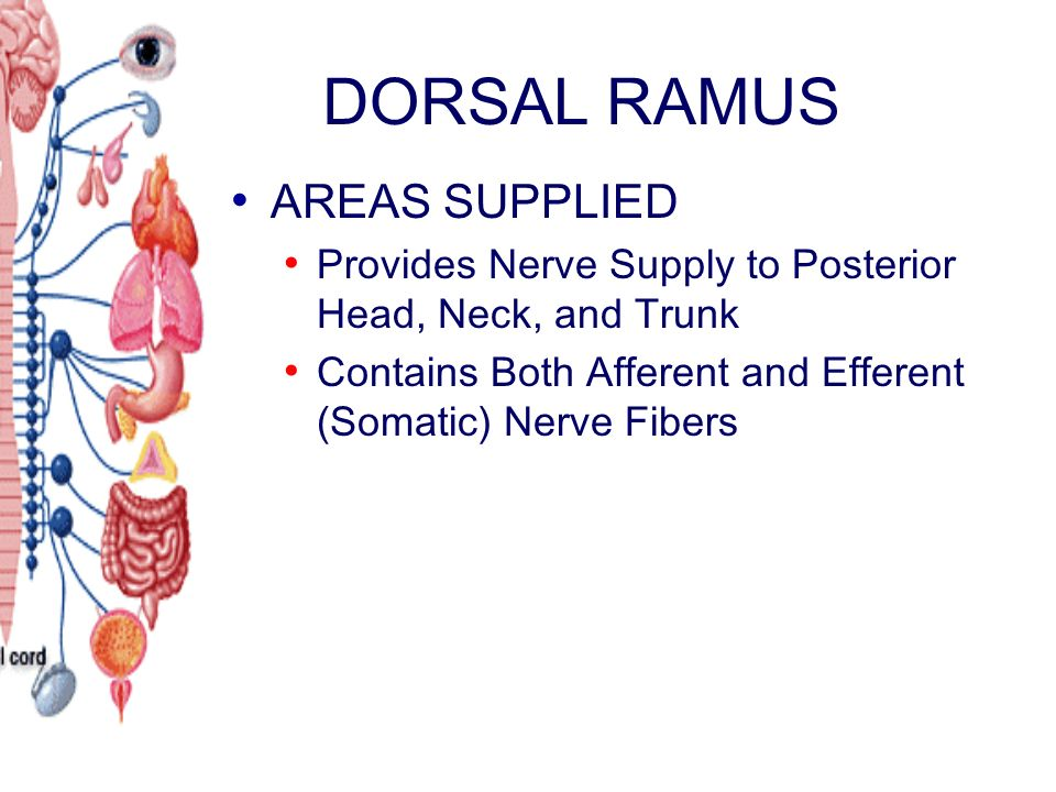 DORSAL RAMUS AREAS SUPPLIED Provides Nerve Supply to Posterior Head, Neck, and Trunk Contains Both Afferent and Efferent (Somatic) Nerve Fibers