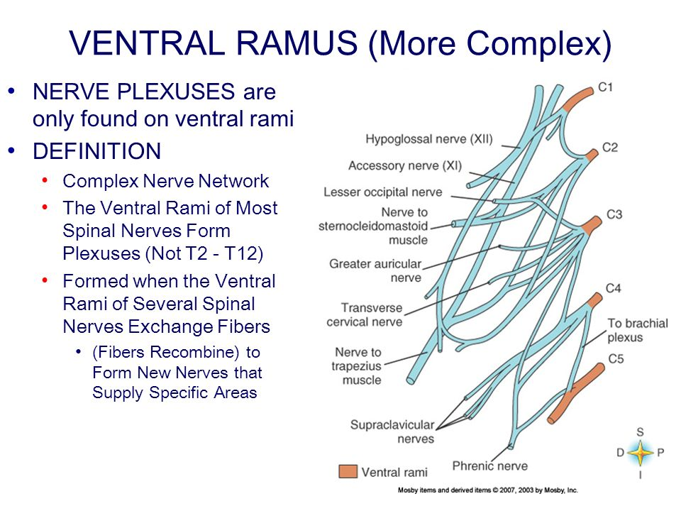 VENTRAL RAMUS (More Complex) NERVE PLEXUSES are only found on ventral rami DEFINITION Complex Nerve Network The Ventral Rami of Most Spinal Nerves Form Plexuses (Not T2 T12) Formed when the Ventral Rami of Several Spinal Nerves Exchange Fibers (Fibers Recombine) to Form New Nerves that Supply Specific Areas