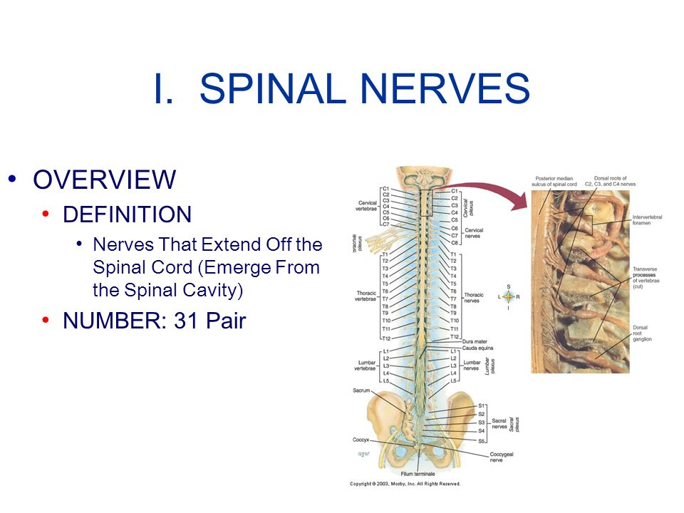 I. SPINAL NERVES OVERVIEW DEFINITION Nerves That Extend Off the Spinal Cord (Emerge From the Spinal Cavity) NUMBER: 31 Pair