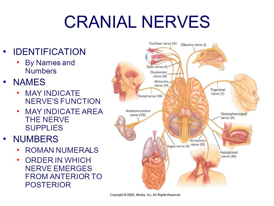 CRANIAL NERVES IDENTIFICATION By Names and Numbers NAMES MAY INDICATE NERVES FUNCTION MAY INDICATE AREA THE NERVE SUPPLIES NUMBERS ROMAN NUMERALS ORDER IN WHICH NERVE EMERGES FROM ANTERIOR TO POSTERIOR