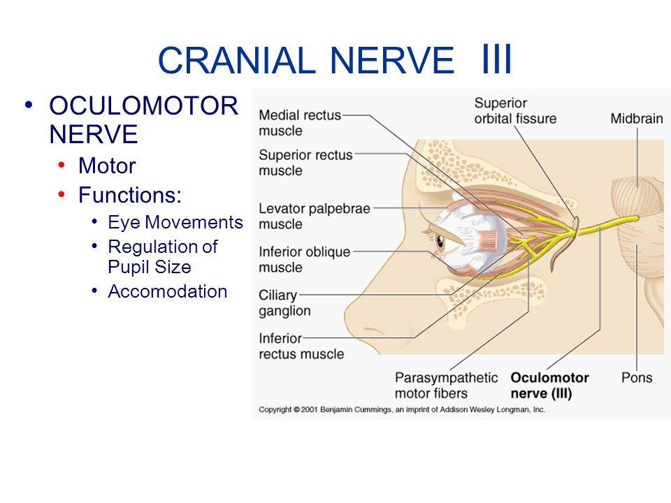 CRANIAL NERVE III OCULOMOTOR NERVE Motor Functions: Eye Movements Regulation of Pupil Size Accomodation