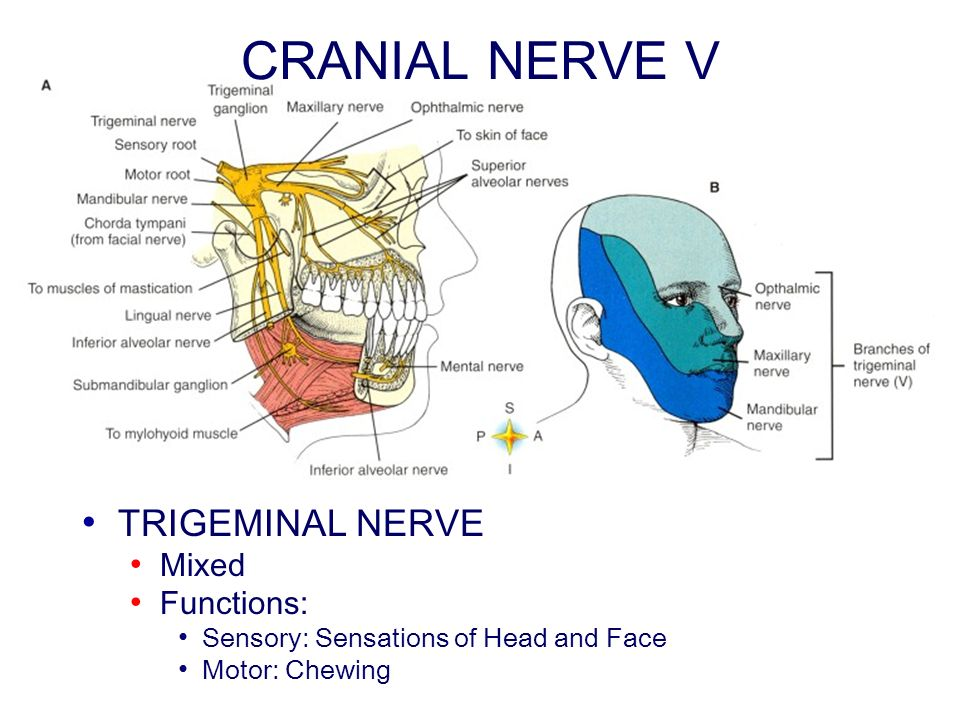 CRANIAL NERVE V TRIGEMINAL NERVE Mixed Functions: Sensory: Sensations of Head and Face Motor: Chewing
