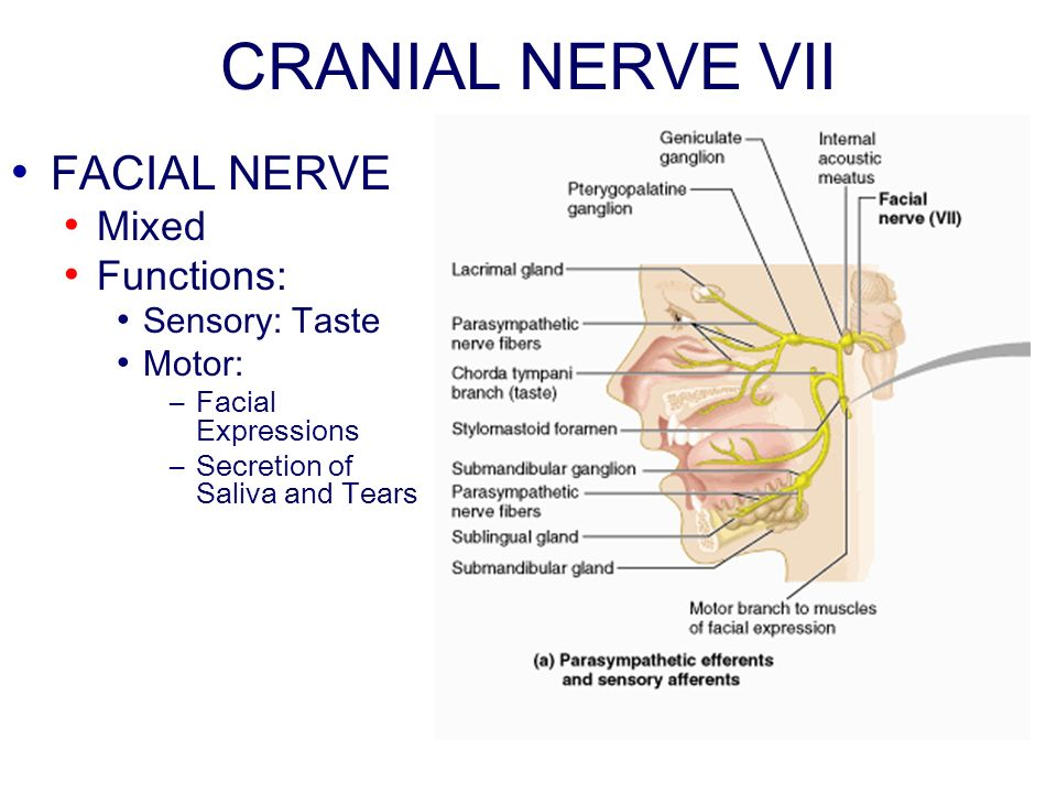 CRANIAL NERVE VII FACIAL NERVE Mixed Functions: Sensory: Taste Motor: –Facial Expressions –Secretion of Saliva and Tears